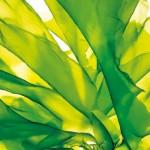 thalion-chlorophyta-seaweed-808981